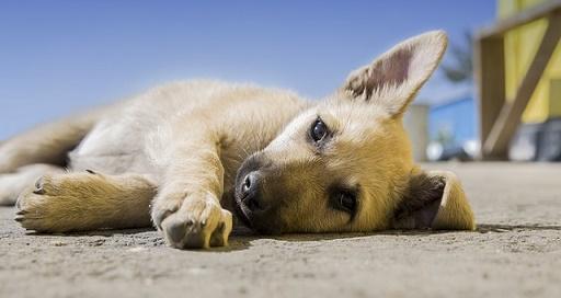 liggende puppy hond